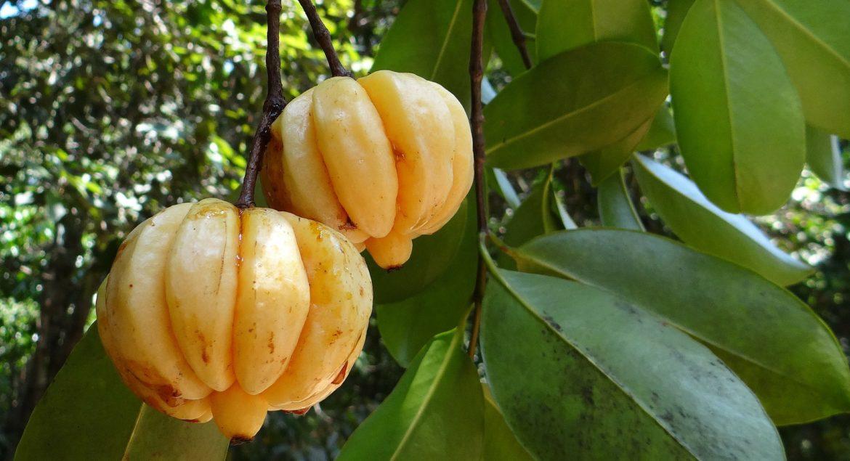 garcinia cambogia jaune