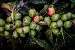 grain_café_vert_natureAZ