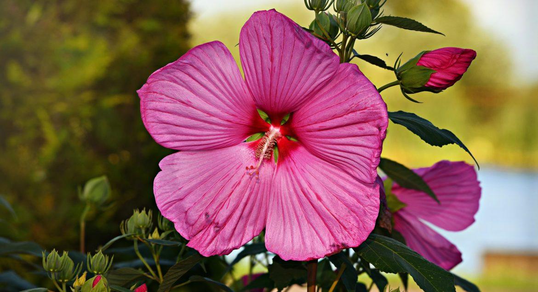 fleur_d_hibiscus_natureAZ
