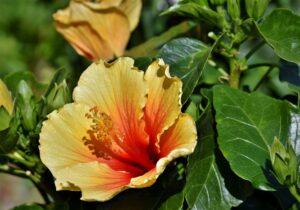 fleur_hibiscus_natureAZ