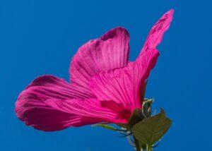 hibiscus_fleur_nature