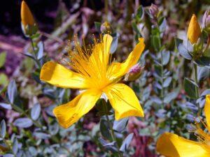 fleur_millepertuis_natureAZ