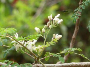 fleur_moringa_natureAZ