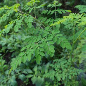 plante_moringa_natureAZ