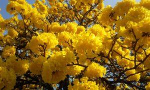 lapacho_jaune_natureAZ