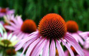 echinacea_fleur-natureAZ