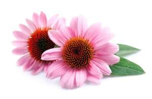 Echinacées fleurs