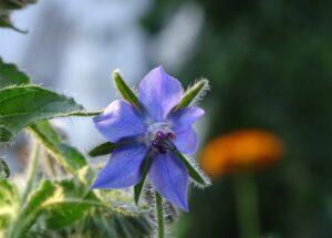 fleur_bourrache_natureAZ