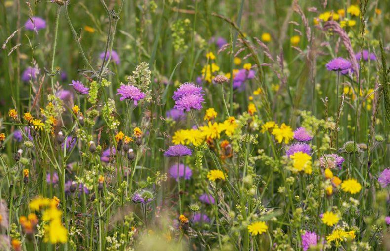 plantes_sauvages_comestibles_NatureAZ