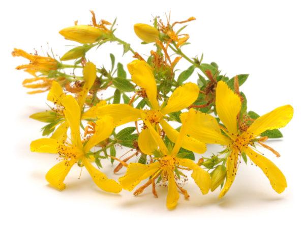 Millepertuis hypericum perforatum sommités fleuries